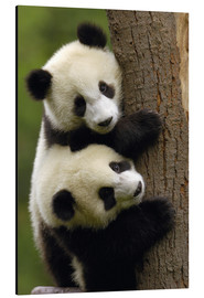 Aluminium print  Giant Panda babies clinging to a tree trunk - Pete Oxford