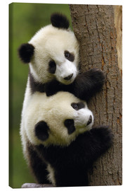Canvas  Giant Panda Babies on a tree trunk - Pete Oxford