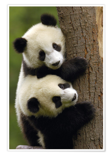 Premium poster Giant Panda babies clinging to a tree trunk