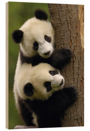 Wood print  Giant Panda babies clinging to a tree trunk - Pete Oxford