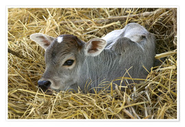 Premium poster Calf in the straw