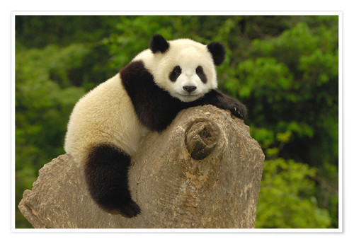 Premium poster A panda baby sits on a tree trunk
