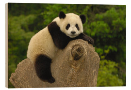 Wood print  Panda cub lies on tree trunk - Pete Oxford