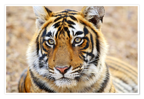 Premium poster Royal Bengal Tiger in Portrait