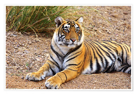 Premium poster Royal Bengal Tiger sitting outside grassland