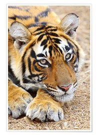 Premium poster Portrait of Royal Bengal Tiger