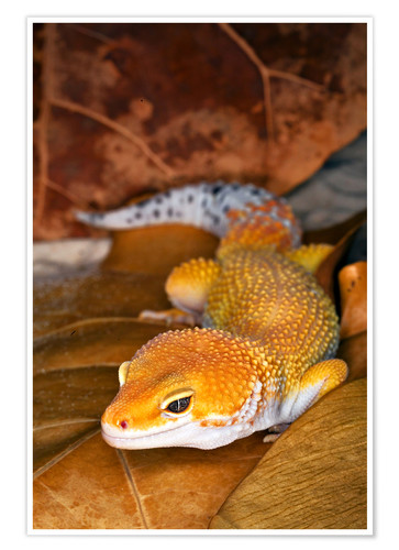 Premium poster Leopard gecko between leaves