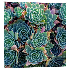 Aluminium print  Colorful succulents - David Wall