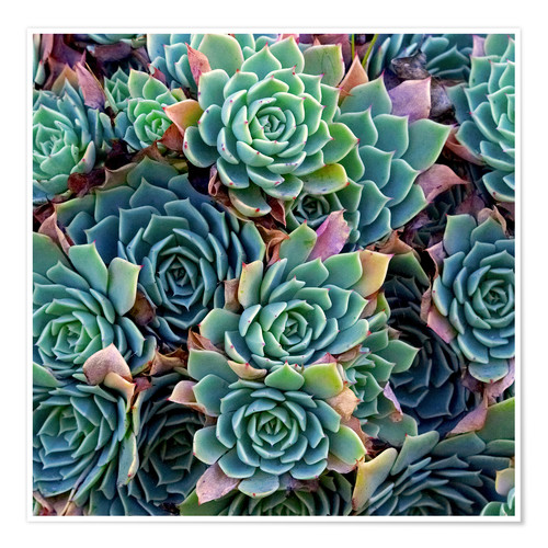 Premium poster Colorful succulents
