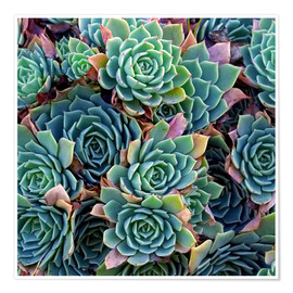 Premium poster  Colorful succulents - David Wall