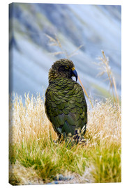 Canvas  A Kea sitting in the grass - Fredrik Norrsell