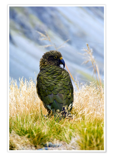 Premium poster Kea is sitting in the grass