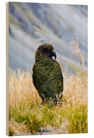 Wood print  Kea is sitting in the grass - Fredrik Norrsell