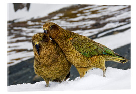Acrylic print  Two young keas in the snow - Fredrik Norrsell