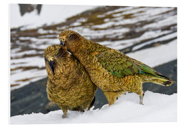 Forex  Two young keas in the snow - Fredrik Norrsell