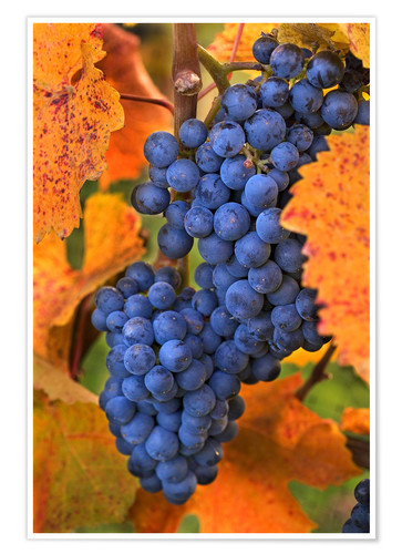 Premium poster Grapes with autumn leaves