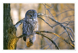 Premium poster  Great gray owl on a branch - Gilles Delisle