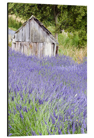 Aluminium print  Lavender field and small shed - Janell Davidson