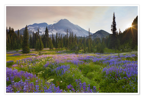 Premium poster Lupine meadow at sunrise