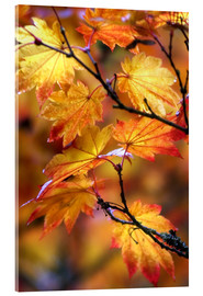 Acrylic print  Maple leaves in autumn - Janell Davidson