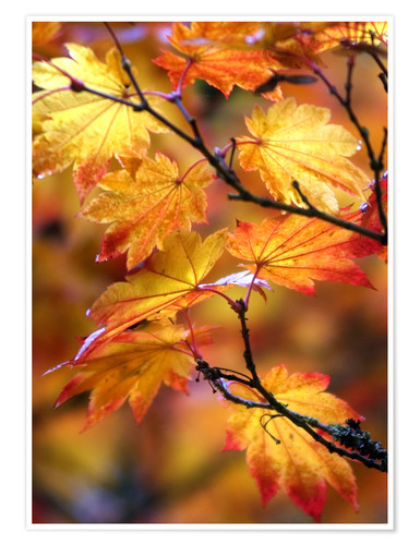 Premium poster Maple leaves in autumn