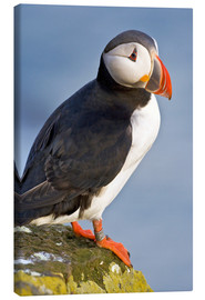 Canvas  Atlantic Puffin - Ralph H. Bendjebar