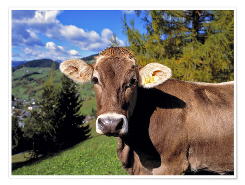 Premium poster Startled Swiss cow in the Dolomites