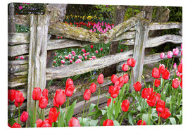 Canvas print  Tulips and wood fence - Jamie & Judy Wild