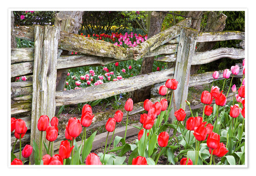 Premium poster Tulips in front of a wooden fence