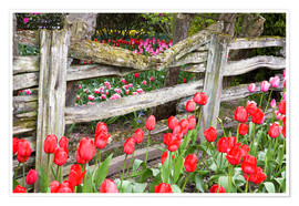 Premium poster  Tulips in front of a wooden fence - Jamie & Judy Wild