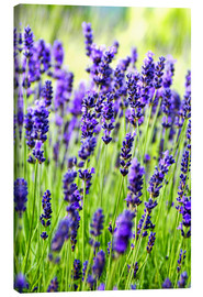 Canvas  Close up of lavender flowers in a field - Rob Tilley