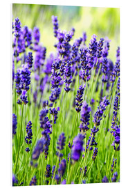 Forex  Close up of lavender flowers in a field - Rob Tilley