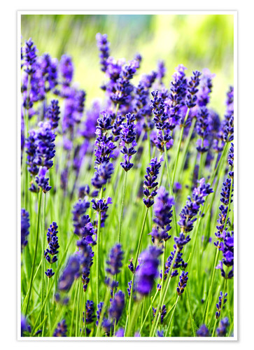 Premium poster Close up of lavender flowers in a field