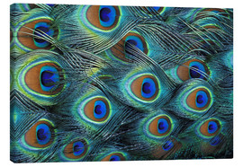 Canvas print  Iridescent feathers of a peacock - Adam Jones