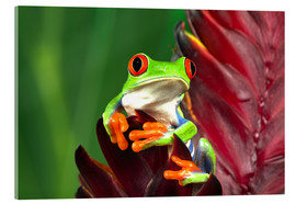 Acrylic glass  Red-eyed tree frog on a leaf - Adam Jones
