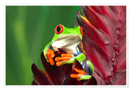 Premium poster Red-eyed tree frog on a leaf