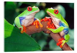 Acrylic glass  Red Eye Treefrog Pair - David Northcott