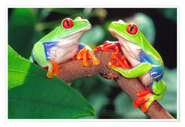 Premium poster Two red-eyed tree frogs