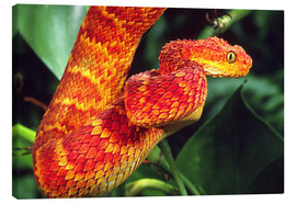 Canvas print  Red bush viper on tree - David Northcott