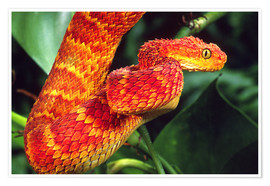 Premium poster Red bush viper on tree