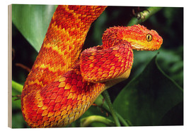 Wood print  Red bush viper on tree - David Northcott