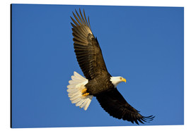 Alu-Dibond  Bald Eagle in Flight - David Northcott