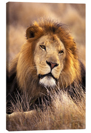 Canvas print  Male lion in the grass - Stuart Westmorland