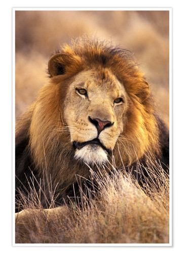 Premium poster Male lion in the grass