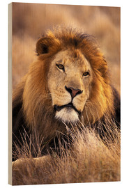 Wood print  Male lion in the grass - Stuart Westmorland