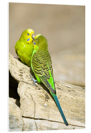 Foam board print  Cute budgerigars - Trish Drury