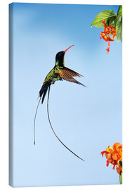 Canvas print  Hummingbird flies to bloom - Rolf Nussbaumer