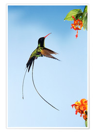 Premium poster Hummingbird flies to bloom