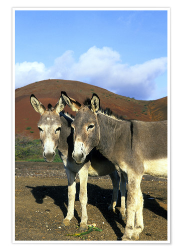 Premium poster Two friendly donkeys