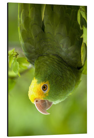 Aluminium print  Yellow-headed Amazon - Pete Oxford